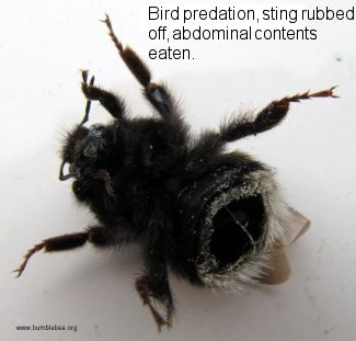 Bird predation of a bumblebee, sting rubbed off and abdominal contents removed