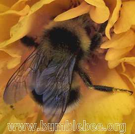Bombus hortorum male
