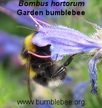 Bombus hortorum worker on Viper's bugloss