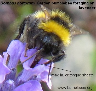 Bombus hortorum, Garden bumblebee worker on lavender