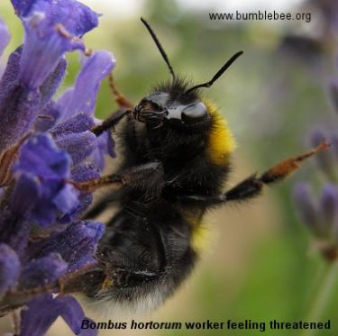 Bombus hortorum worker feeling threatened