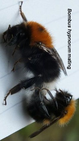 Bombus hypnorum mating, tree bumblebee mating