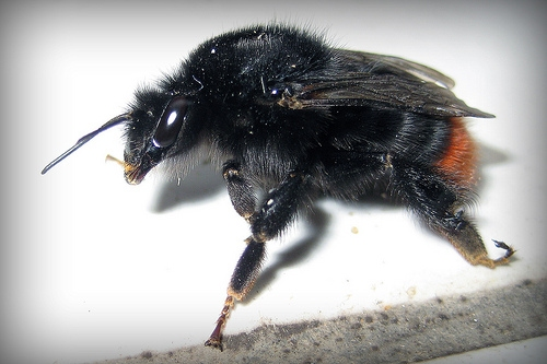 Black Bumble Bee >> Bombus Lapidarius The Red Tailed Bumblebee