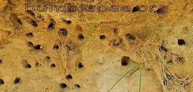 group of mining bee nests, Colletes sp. in a sandy bank in north eastern France