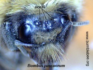 simple eyes (ocelli) of a bumblebee