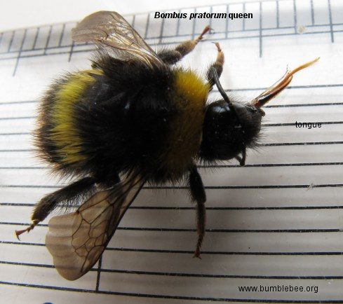 Bombus pratorum queen, Early bumblebee queen