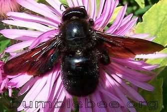 Black Bumble Bee >> Insects That Look Like Bumblebees