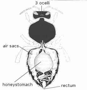 honeystomach and abdomen