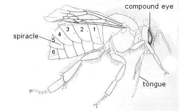 The Bumblebee Body, overview