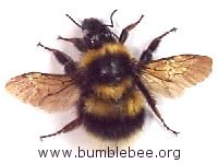 Bombus hortorum, adult queen, the garden bumblebee