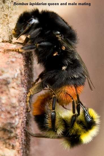 Bombus lapidarius queen bumblebee and male mating