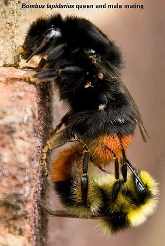 Bumblebee Mating Death And Hibernation Stage 4 In The Lifecycle Of