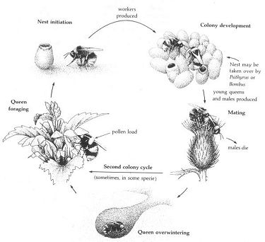 diagram of bumblebee colony lifecycle