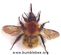 Bombus pascuorum, adult queen, common carder bumblebee