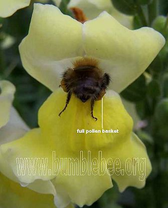 bumblebee foraging on antirrhinum