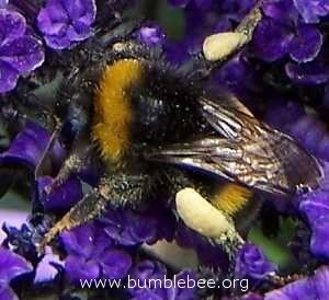 terrestris/lucorm worker with full pollen baskets
