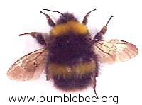 Bombus pratorum, adult queen,