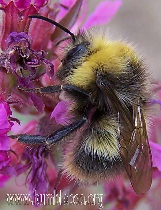 Bombus pratorum male