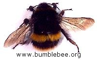 Bombus terrestris, adult queen bumblebee, buff-tailed bumblebee