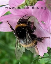 Bombus terrestris/lucorum worker foraging