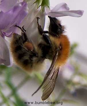 bumblebee Bombus humilis with ragged wings