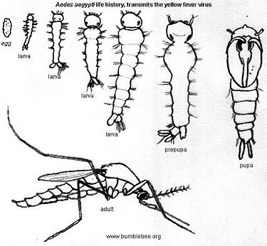 Aedes aegypti life history from egg to adult, transmits yellow fever