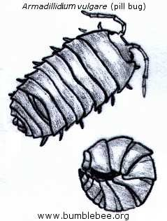 Armadillidium vulgare, the pill bug