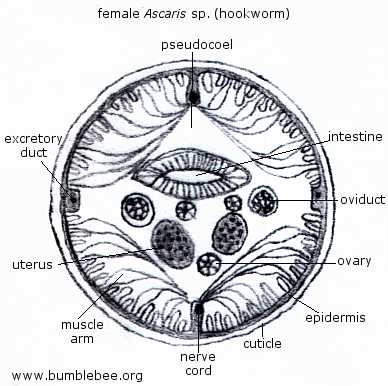 Ascaris Diagram