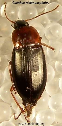 Calathus melanocephalus adult ground beetle