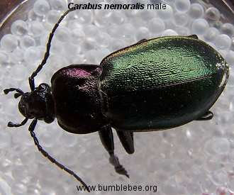 Carabus nemoralis male, ground beetle