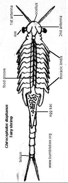 Chirocepalus diaphanus, fairy shrimp