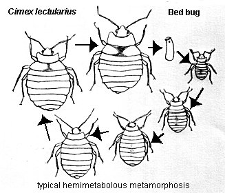 Cimex lectularius, bed bug