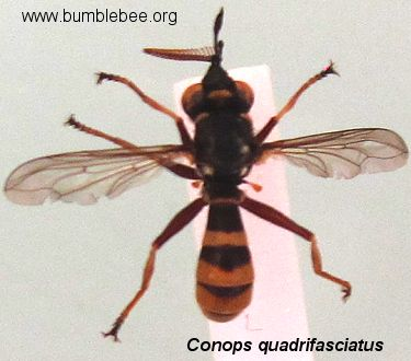 Conopid fly adult