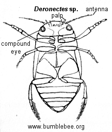 the the main beetle page for beetle fast facts diagram of adult beetle    Whirligig Beetle Drawing