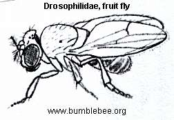 Drosopolidae, fruit fly adult