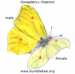 Gonepteryx rhaemni, the brimstone butterfly