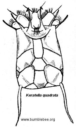 Keratella quadrata