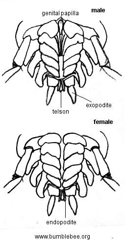 Male and Female woodlouse