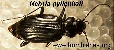 Nebria gyllanhali, adult ground beetle