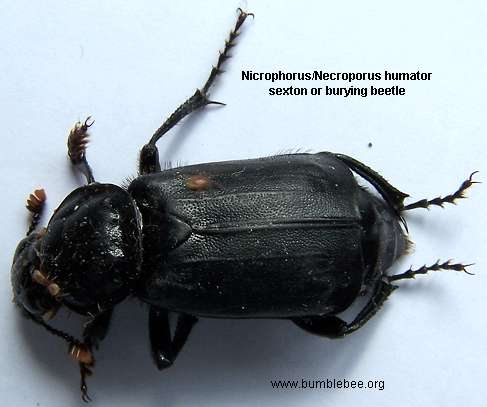 Nicrophous humator, sexton beetle, burying beetle, carrion beetle