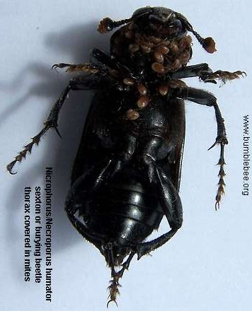 Nicrophorus humator with mites