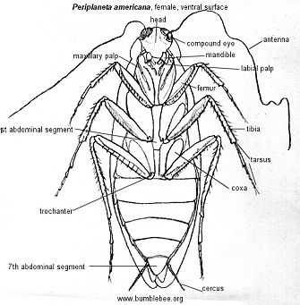Dictyoptera - cockroaches 2