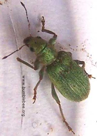 Phyllobius sp. adult weevil