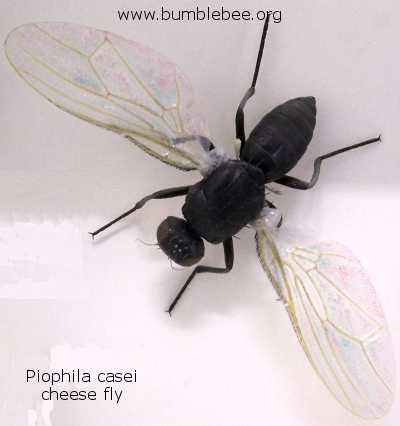 Piophila casei, adult cheese fly