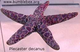 Plecaster decanus, star fish