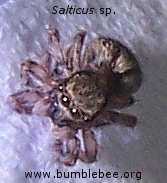 Salticus sp. a jumping spider