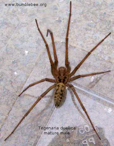 Tegenaria duellica mature male