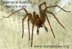 Tegenaria duellica mature male palps