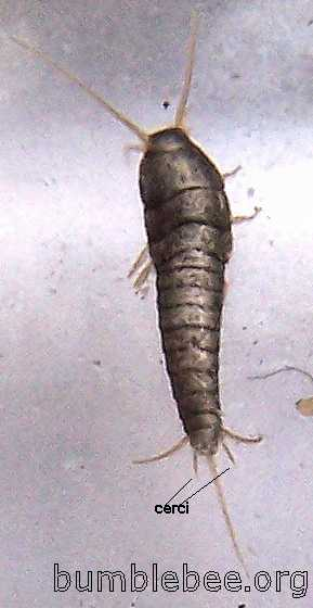 Thysanura Silverfish And 3 Pronged Bristletails