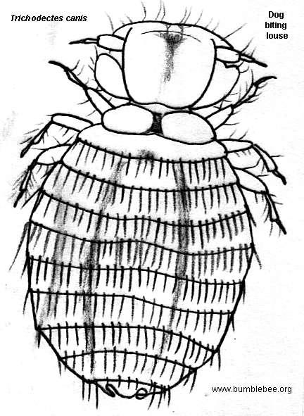 mallophaga  the biting lice